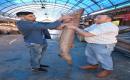 Mersinde 2.5 Metrelik Köpek Balığı Yakalandı