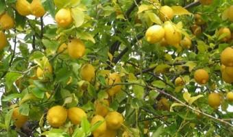 mersin-de-limon-hasadi-basladi-5098720_6611_o