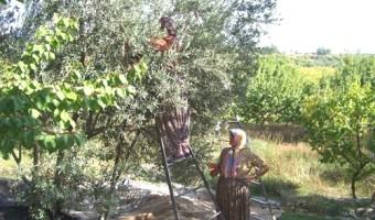 mut-ta-zeytin-hasadi-basladi-5094586_o